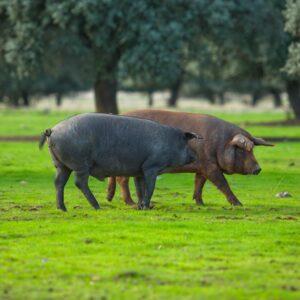 Origen de l'Porc Negre
